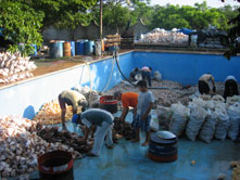 Sorting and cleanning  shells.(Mexico)
