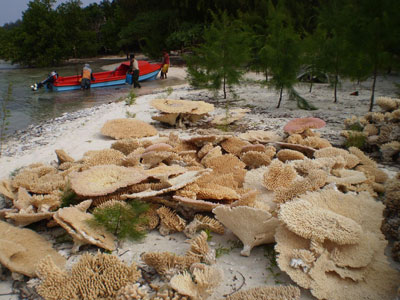 Coral removed for shipping channel<br>Permits to sell these corals on file.
