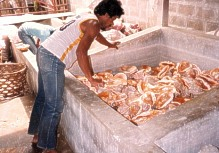 Huge vats are used to clean larger shells.