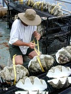 Giant clams after aductor mussell inside is removed.<br>We support aqua culture