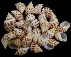 Babylonia Areolata Shells - Nautical Spotted Shells (Qty 50)