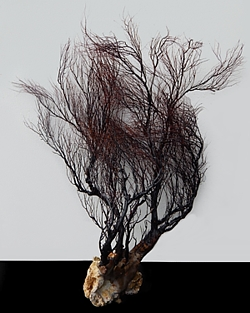 Rare Black Coral Tree - Click For Larger View