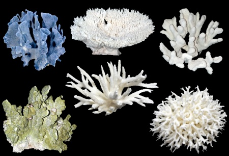 6 Pc Assorted coral - Click For Larger View