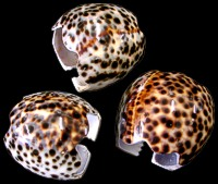 Tiger Cowrie Napkin Rings - Click For Larger View
