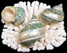 Banded Jade Turbo - Click For Larger View