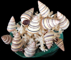 Haitian Tree Snails - Click For Larger View