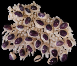 Baby Purple Top Cowrie - Click For Larger View